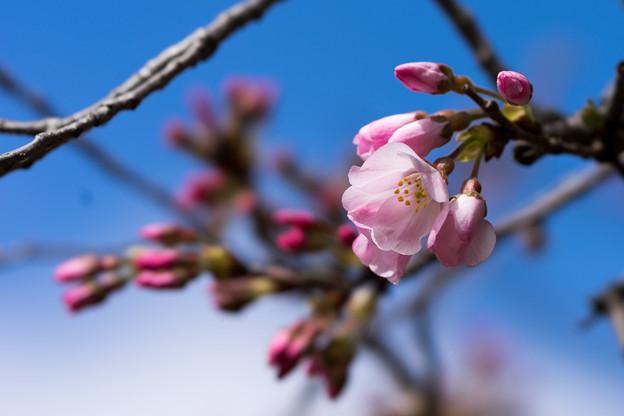 早春の神代植物公園【サクラ:神代曙】4