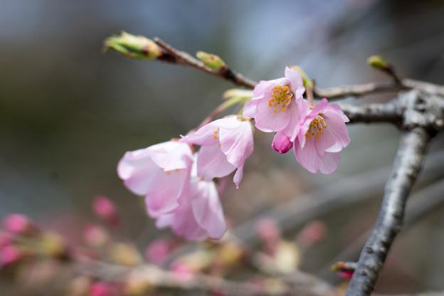 早春の神代植物公園【サクラ:神代曙】5