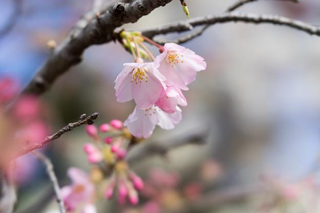 早春の神代植物公園【サクラ:神代曙】6