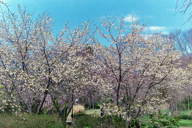 早春の神代植物公園【サクラ:寒咲大島】1銀塩