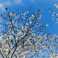 早春の神代植物公園【サクラ:寒咲大島】2銀塩
