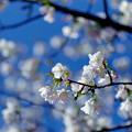 早春の神代植物公園【サクラ:寒咲大島】3銀塩
