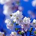 早春の神代植物公園【サクラ:寒咲大島】4銀塩