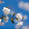 早春の神代植物公園【サクラ:寒咲大島】5