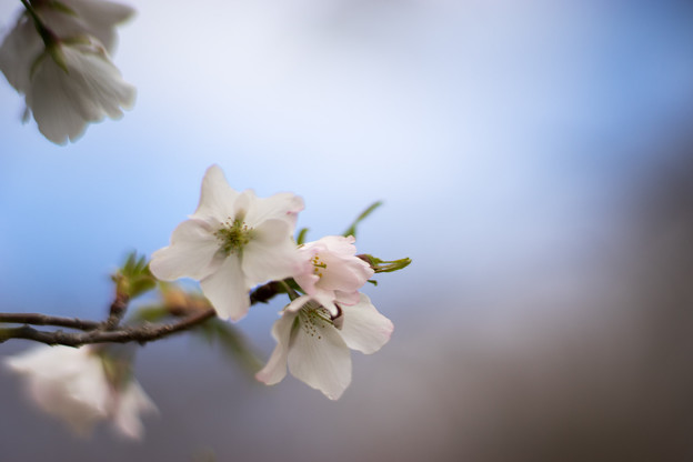 早春の神代植物公園【サクラ:寒咲大島】6