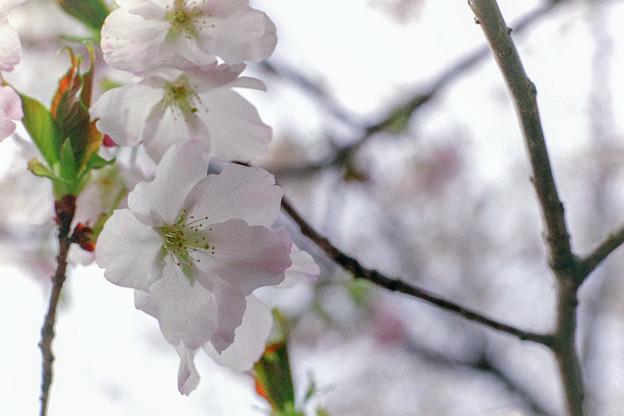 早春の神代植物公園【サクラ:寒咲大島】7銀塩