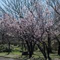 早春の神代植物公園【サクラ:東海桜】1