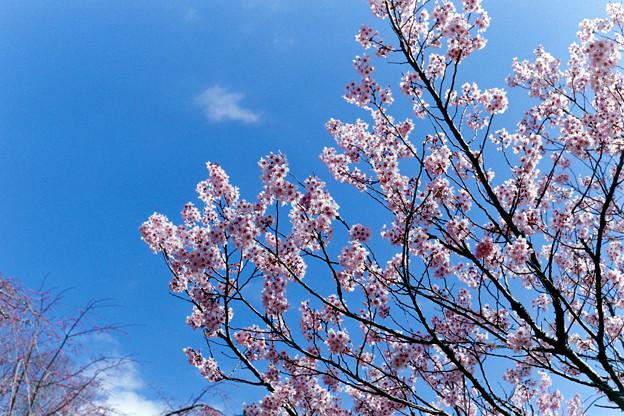 早春の神代植物公園【サクラ:東海桜】2銀塩