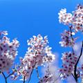 早春の神代植物公園【サクラ:東海桜】3銀塩