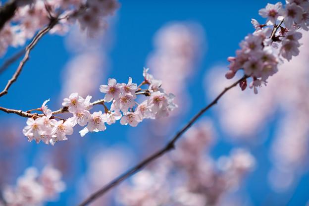 早春の神代植物公園【サクラ:東海桜】4