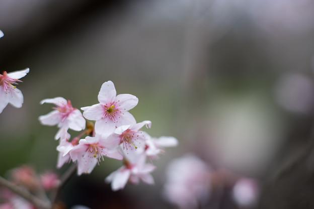 早春の神代植物公園【サクラ:東海桜】6