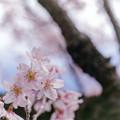 早春の神代植物公園【サクラ:東海桜】7銀塩