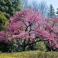 早春の神代植物公園【サクラ:寒緋桜】1