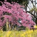 早春の神代植物公園【サクラ:寒緋桜】2