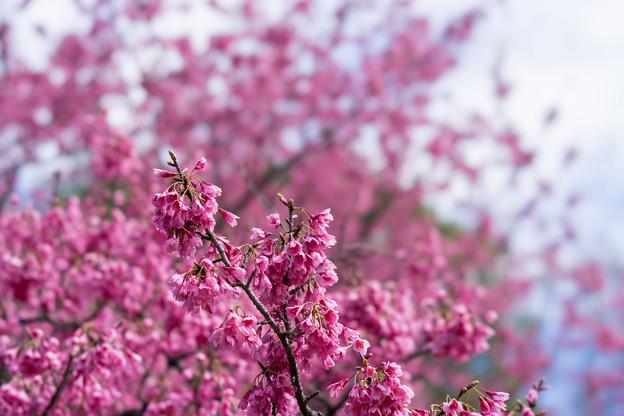 早春の神代植物公園【サクラ:寒緋桜】3