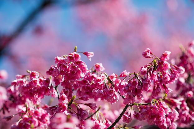 早春の神代植物公園【サクラ:寒緋桜】4