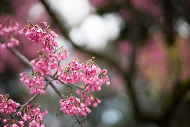 早春の神代植物公園【サクラ:寒緋桜】5