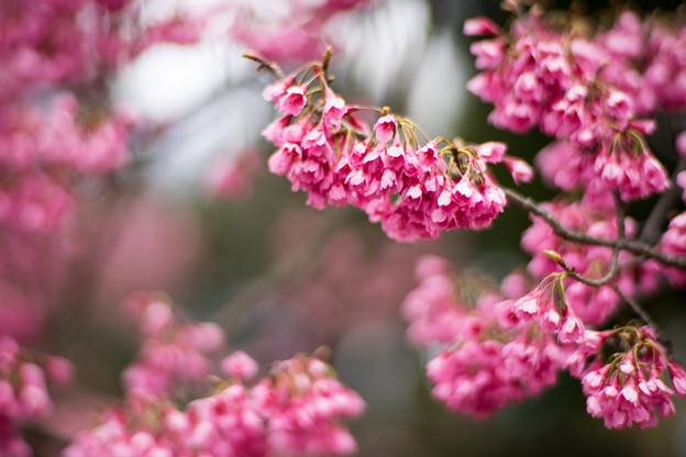 早春の神代植物公園【サクラ:寒緋桜】6
