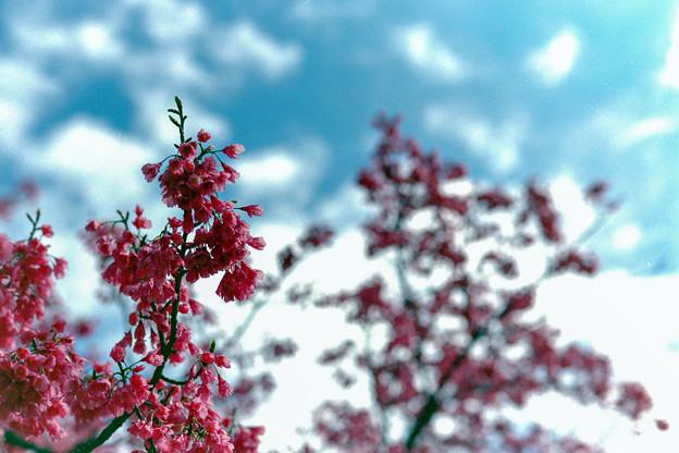早春の神代植物公園【サクラ:寒緋桜】7銀塩