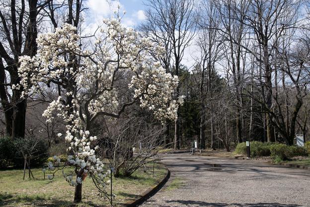 早春の神代植物公園【ハクモクレン】1