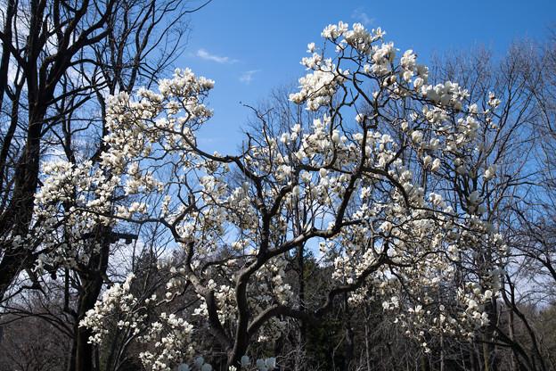 早春の神代植物公園【ハクモクレン】2