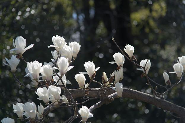 早春の神代植物公園【ハクモクレン】4