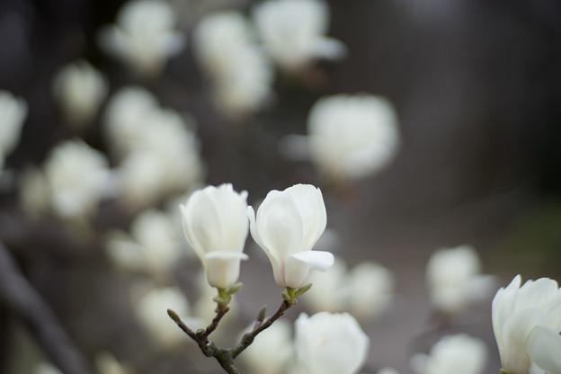 早春の神代植物公園【ハクモクレン】5