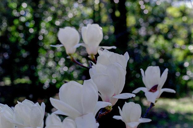 早春の神代植物公園【ハクモクレン】6銀塩