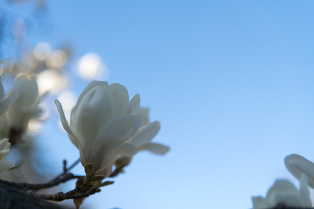 早春の神代植物公園【ハクモクレン】8
