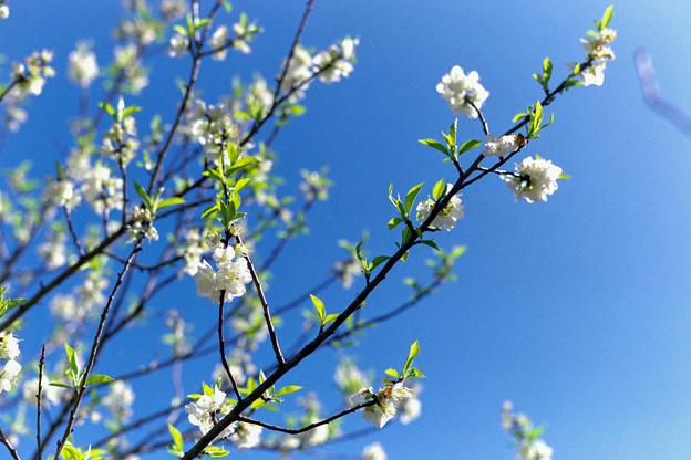 早春の神代植物公園【ハナモモ:寒白】3銀塩