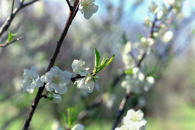 早春の神代植物公園【ハナモモ:寒白】4銀塩