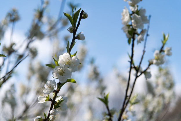 早春の神代植物公園【ハナモモ:寒白】5