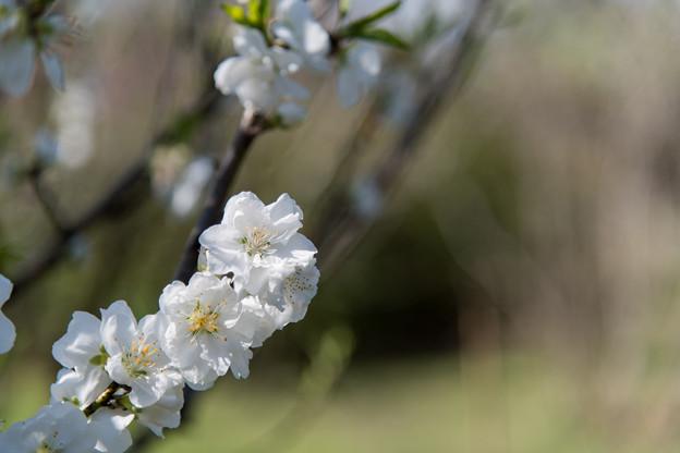 早春の神代植物公園【ハナモモ:寒白】6