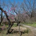 早春の神代植物公園【ピンク色のハナモモ】1