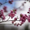 早春の神代植物公園【ピンク色のハナモモ】2
