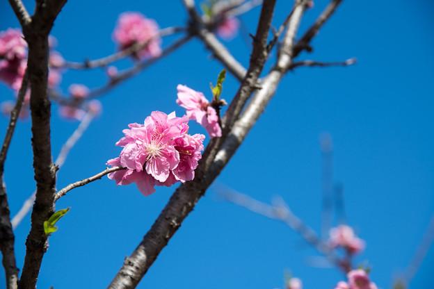 早春の神代植物公園【ピンク色のハナモモ】3