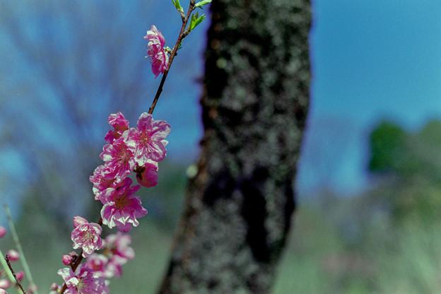 早春の神代植物公園【ピンク色のハナモモ】4銀塩