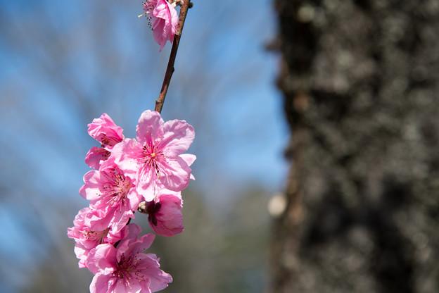 早春の神代植物公園【ピンク色のハナモモ】5
