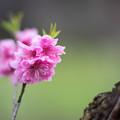 早春の神代植物公園【ピンク色のハナモモ】7