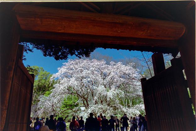 六義園【枝垂れ桜】1銀塩