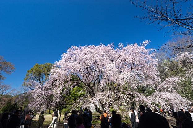 六義園【枝垂れ桜】2
