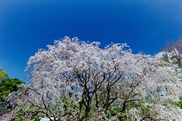 六義園【枝垂れ桜】3銀塩