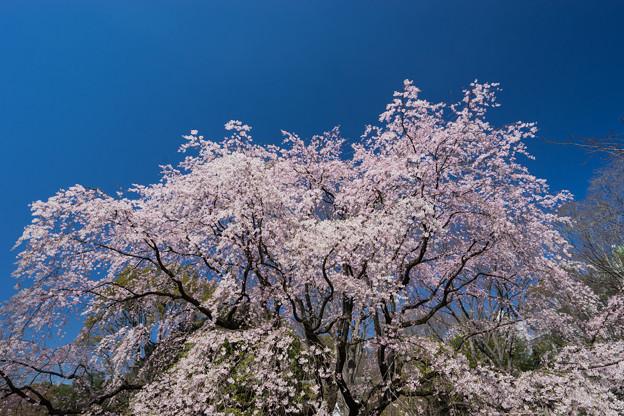 六義園【枝垂れ桜】4