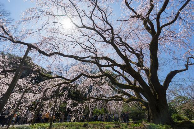 六義園【枝垂れ桜】5