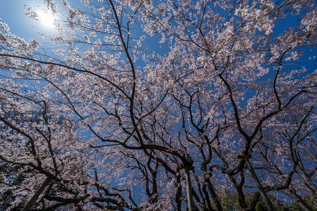 六義園【枝垂れ桜】7