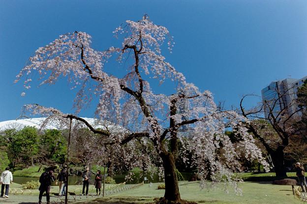 小石川後楽園【馬場桜】1銀塩