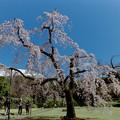 Photos: 小石川後楽園【馬場桜】1銀塩