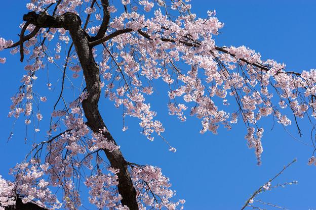 小石川後楽園【馬場桜】2