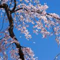 Photos: 小石川後楽園【馬場桜】2