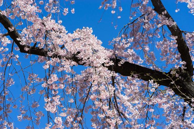 小石川後楽園【馬場桜】3